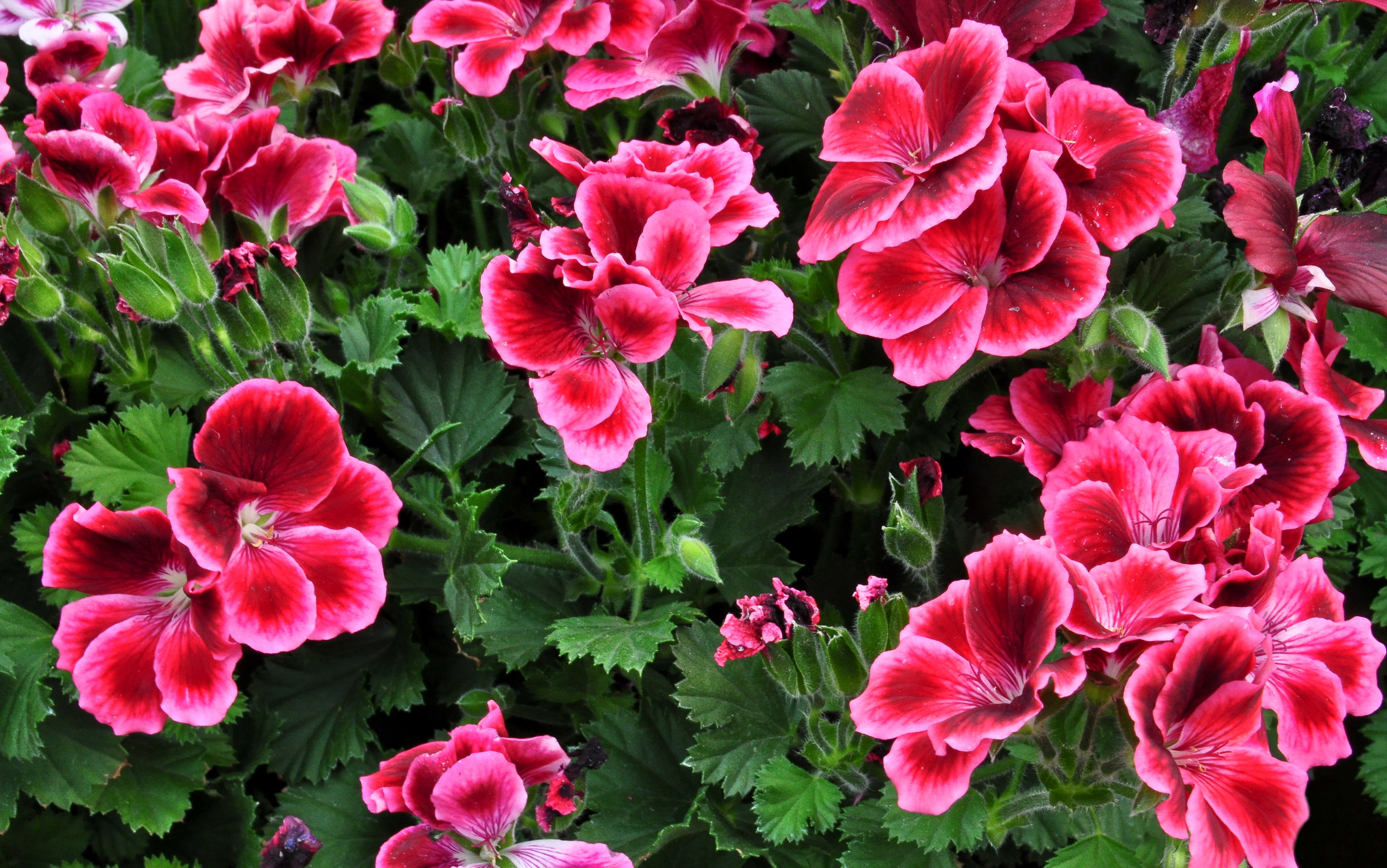 Geranium Backgrounds on Wallpapers Vista