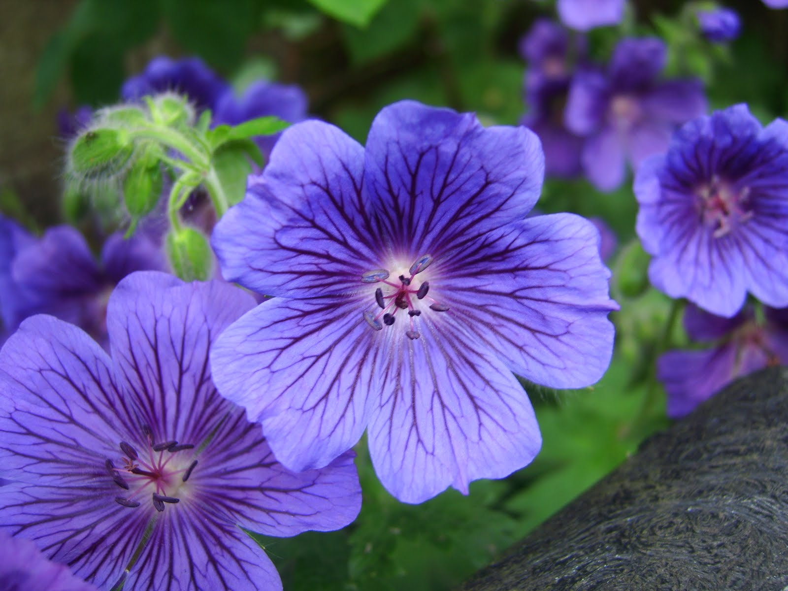 Geranium High Quality Background on Wallpapers Vista