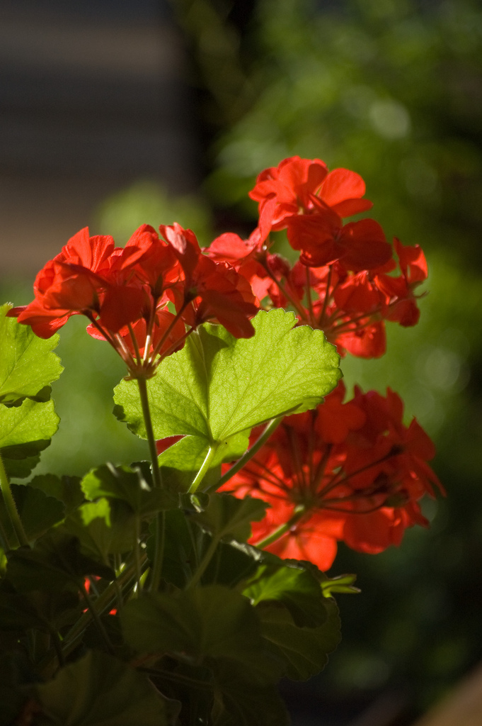Geranium Pics, Earth Collection