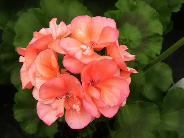 Images of Geranium | 640x480