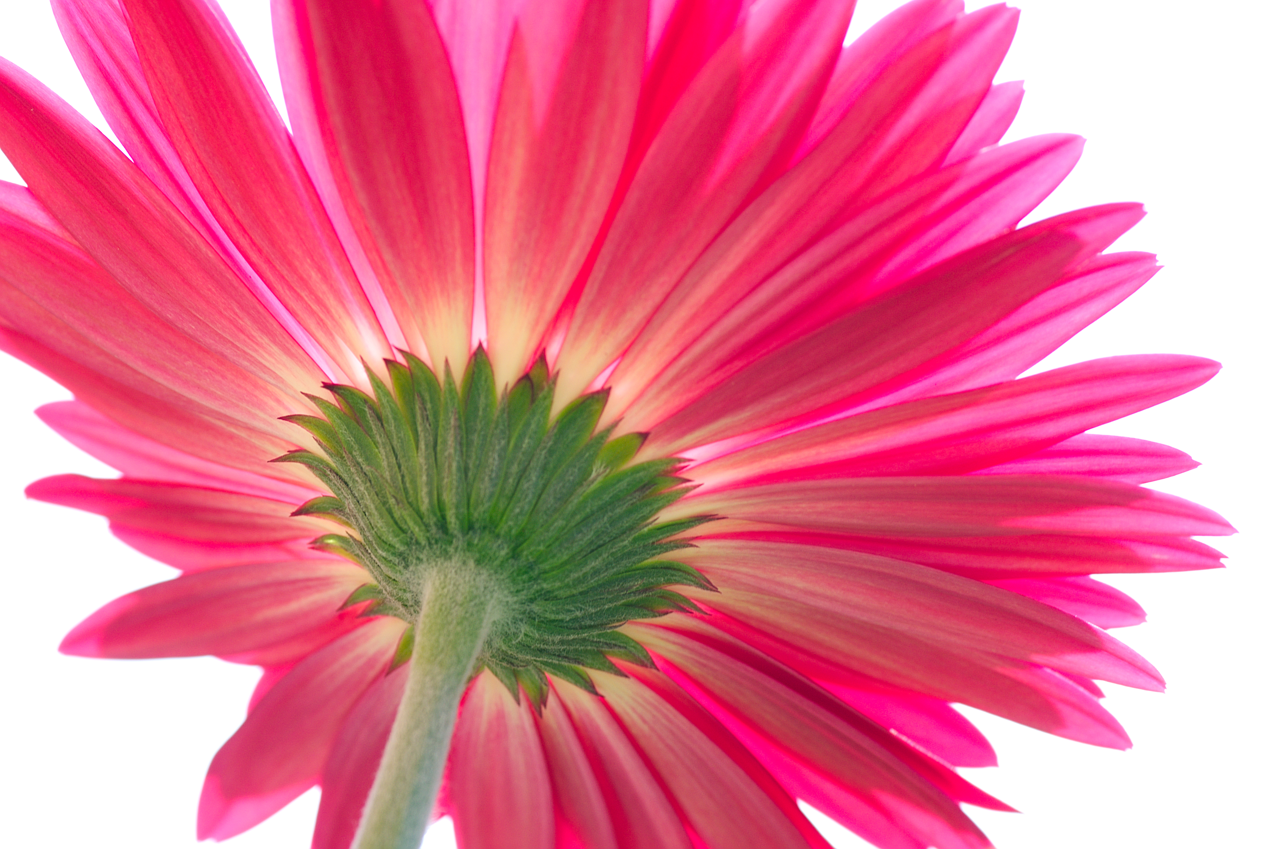 Gerbera Pics, Earth Collection