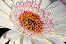 Gerbera Backgrounds, Compatible - PC, Mobile, Gadgets| 220x147 px