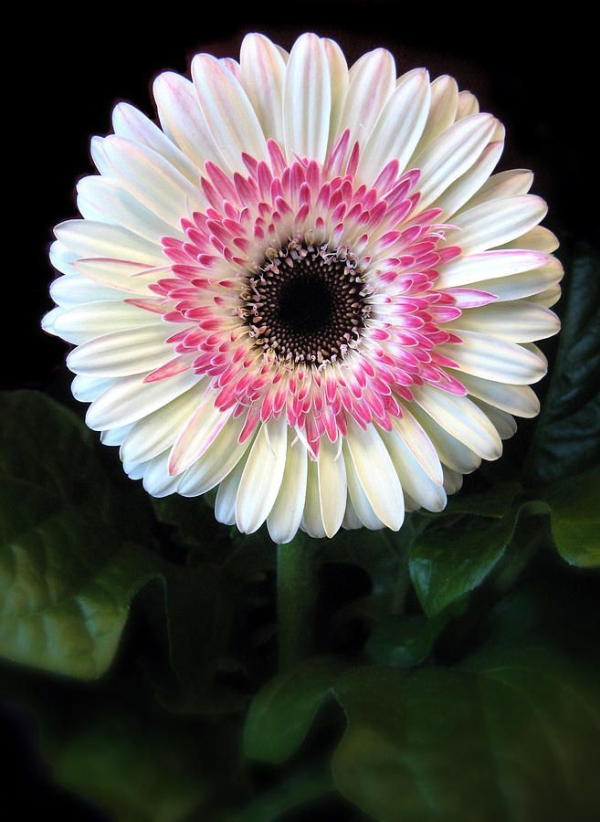 Amazing Gerbera Pictures & Backgrounds