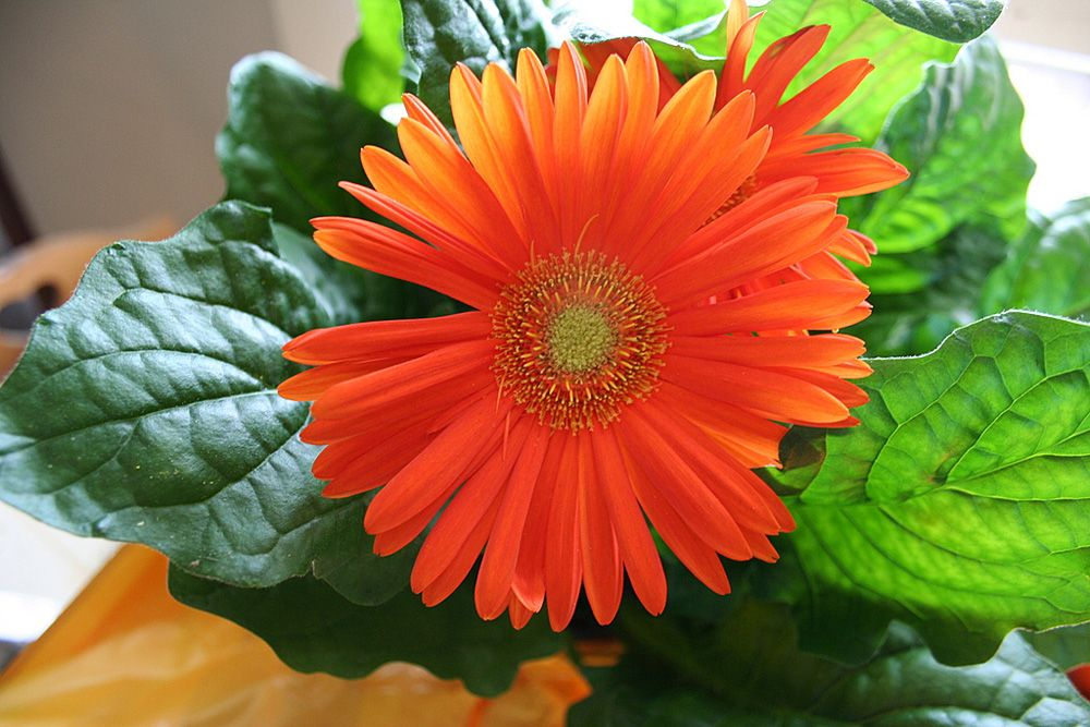 HD Quality Wallpaper | Collection: Earth, 1000x667 Gerbera