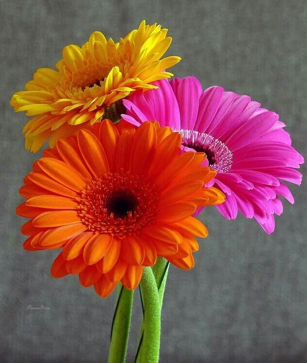 Gerbera High Quality Background on Wallpapers Vista