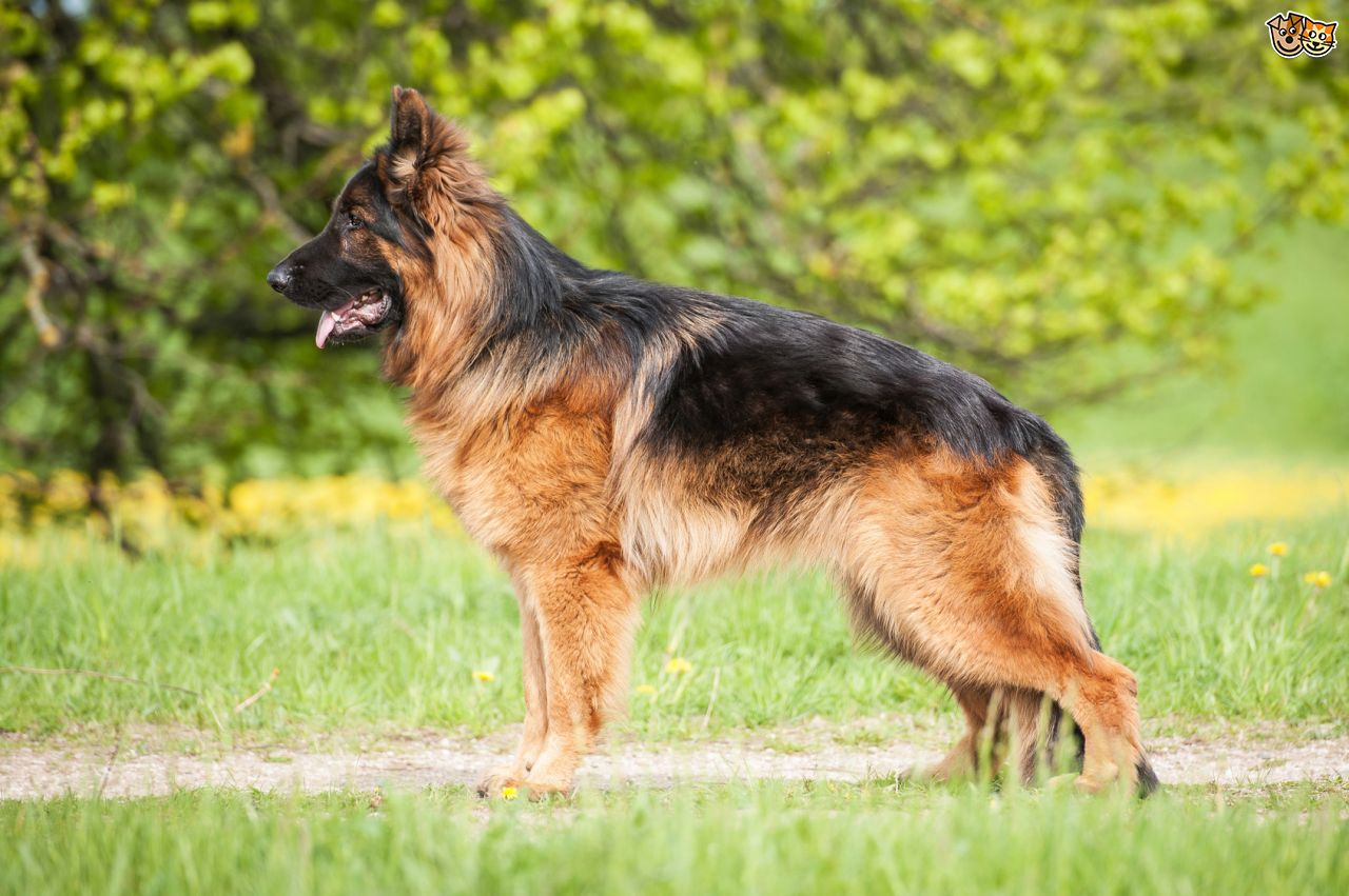 Nice wallpapers German Shepherd 1280x851px