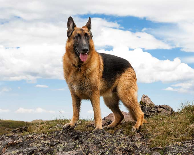 German Shepherd Backgrounds on Wallpapers Vista