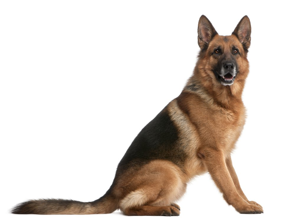 HQ German Shepherd Wallpapers | File 55.48Kb