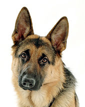 German Shepherd Pics, Animal Collection
