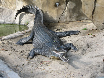 Images of Gharial | 350x263