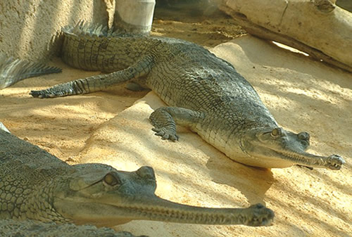Nice Images Collection: Gharial Desktop Wallpapers