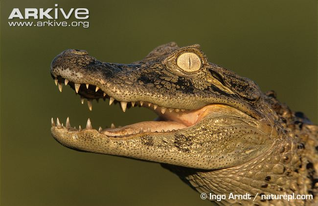 Gharial Backgrounds, Compatible - PC, Mobile, Gadgets| 650x422 px