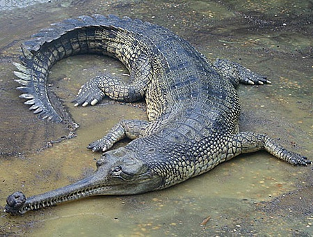 Images of Gharial | 450x340