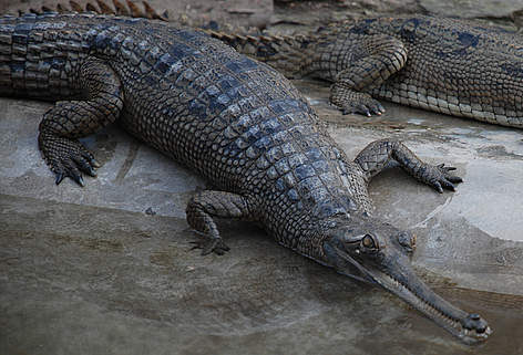 Gharial High Quality Background on Wallpapers Vista
