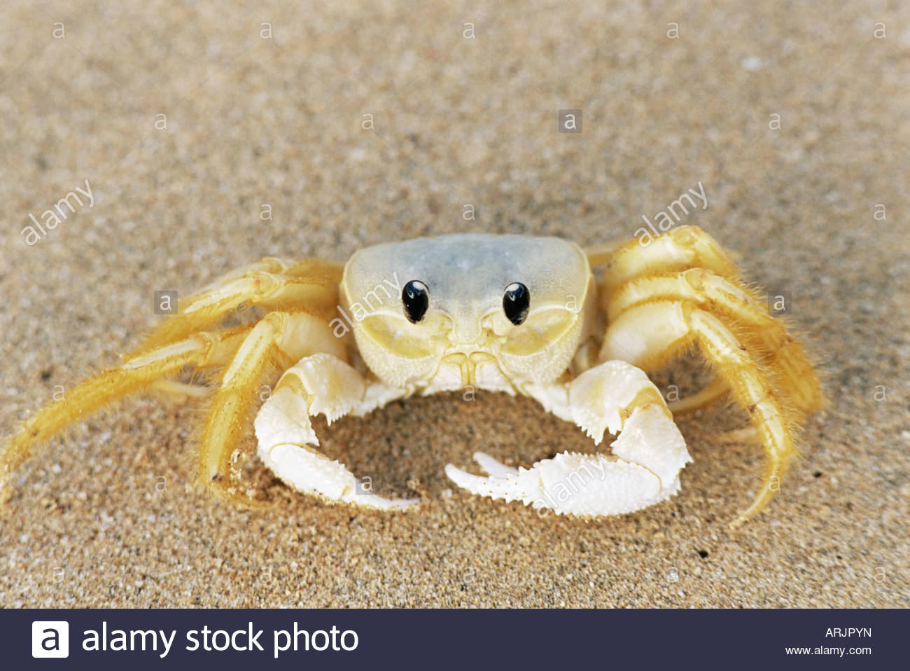 Nice Images Collection: Ghost Crab Desktop Wallpapers