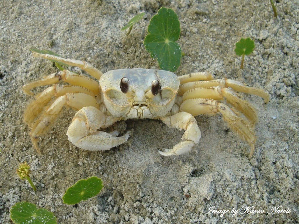 HD Quality Wallpaper | Collection: Animal, 1024x768 Ghost Crab