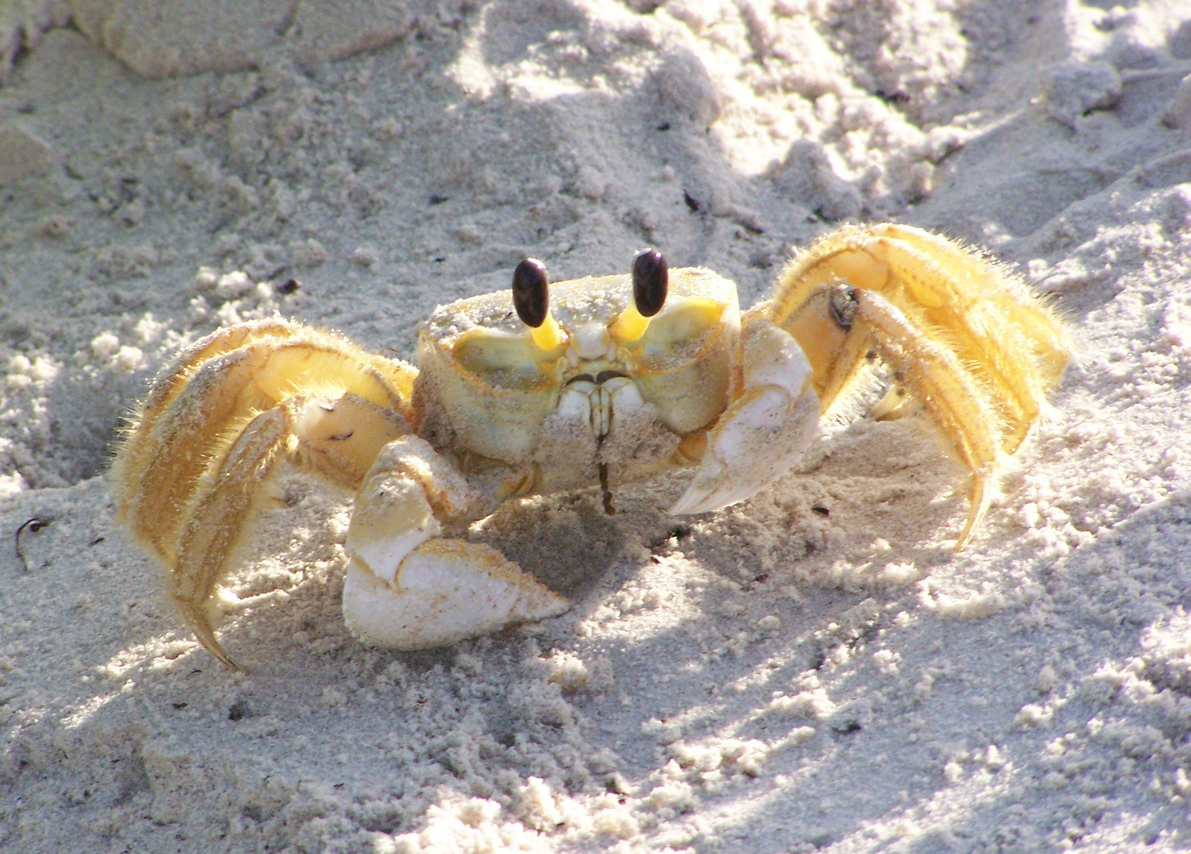 Nice wallpapers Ghost Crab 2444x1752px