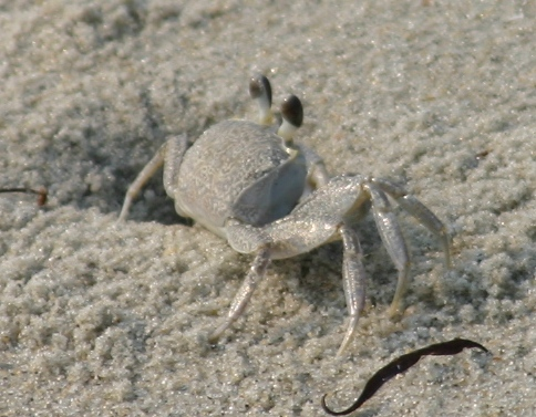 Ghost Crab Backgrounds, Compatible - PC, Mobile, Gadgets| 484x377 px