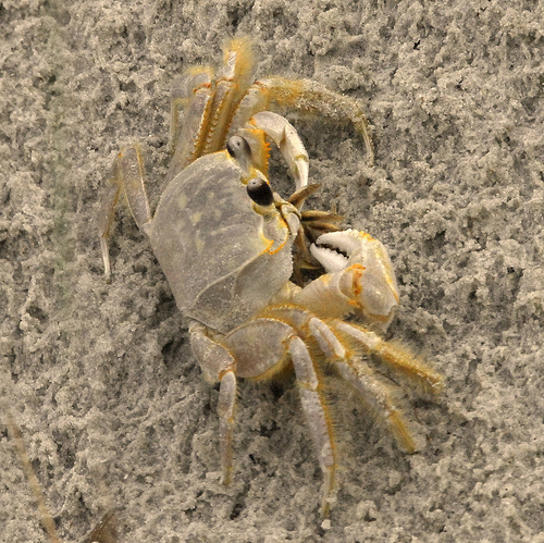Ghost Crab Pics, Animal Collection