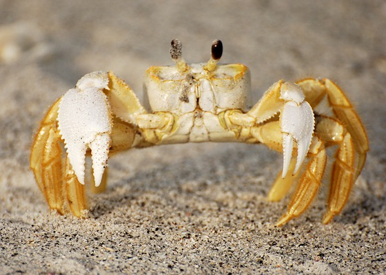 HQ Ghost Crab Wallpapers | File 73.26Kb