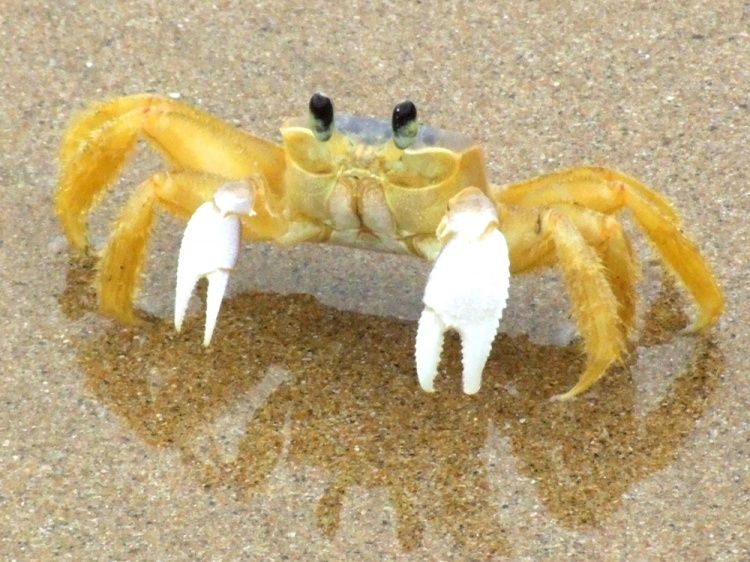 Ghost Crab High Quality Background on Wallpapers Vista