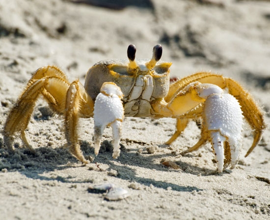 Amazing Ghost Crab Pictures & Backgrounds