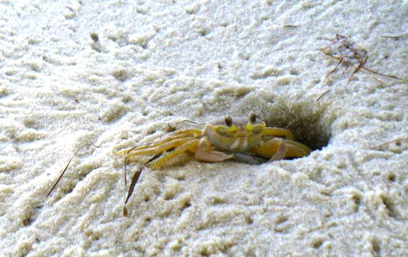 Nice wallpapers Ghost Crab 571x360px