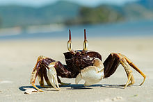 Nice wallpapers Ghost Crab 220x147px