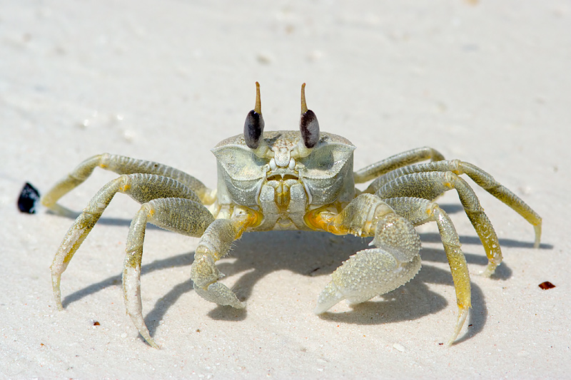 HD Quality Wallpaper | Collection: Animal, 800x533 Ghost Crab