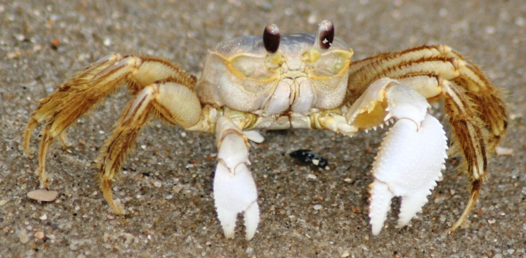 Ghost Crab Backgrounds, Compatible - PC, Mobile, Gadgets| 1079x530 px