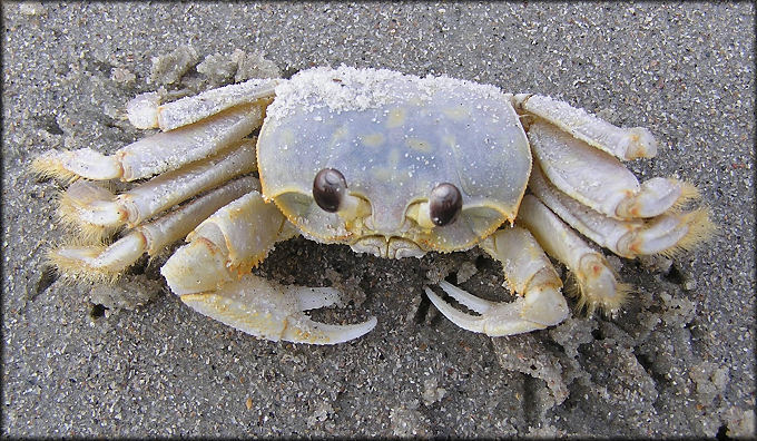 Images of Ghost Crab | 680x396