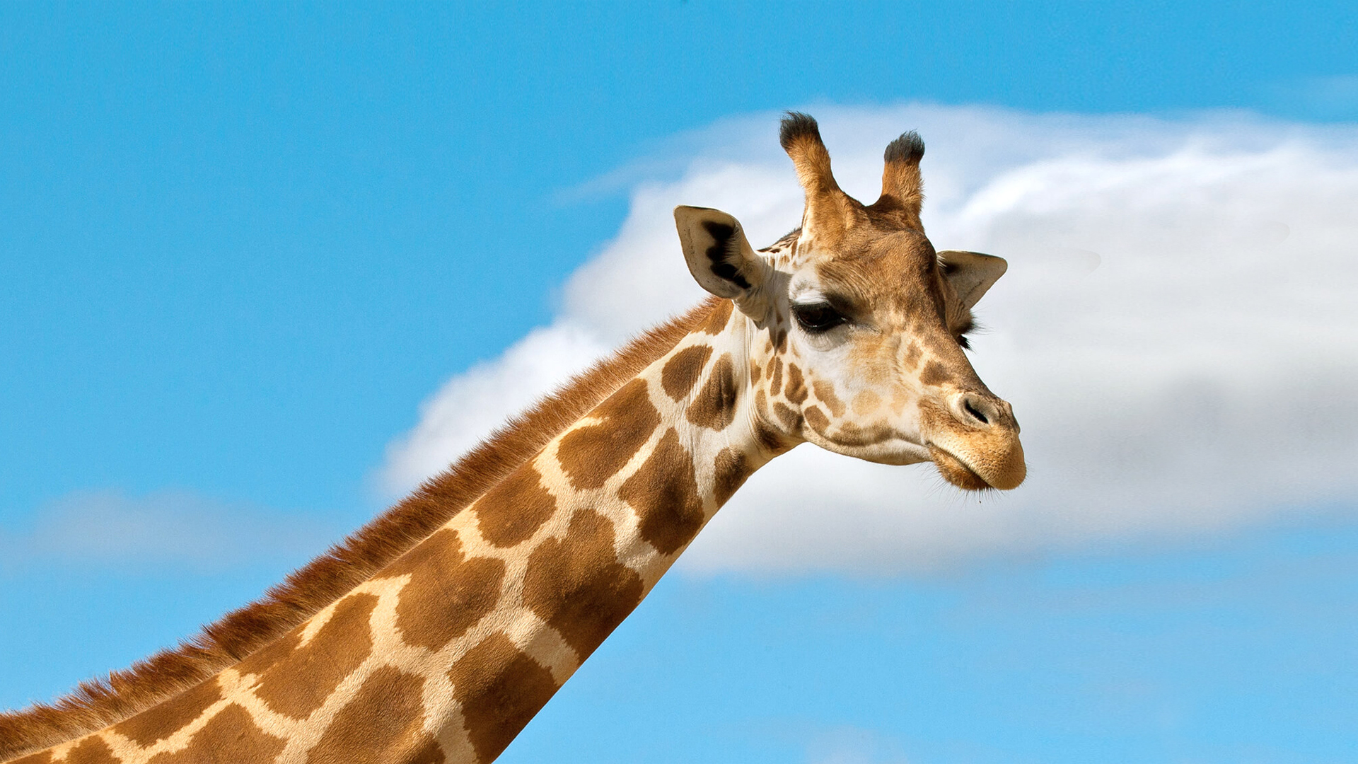 Amazing Giraffe Pictures & Backgrounds