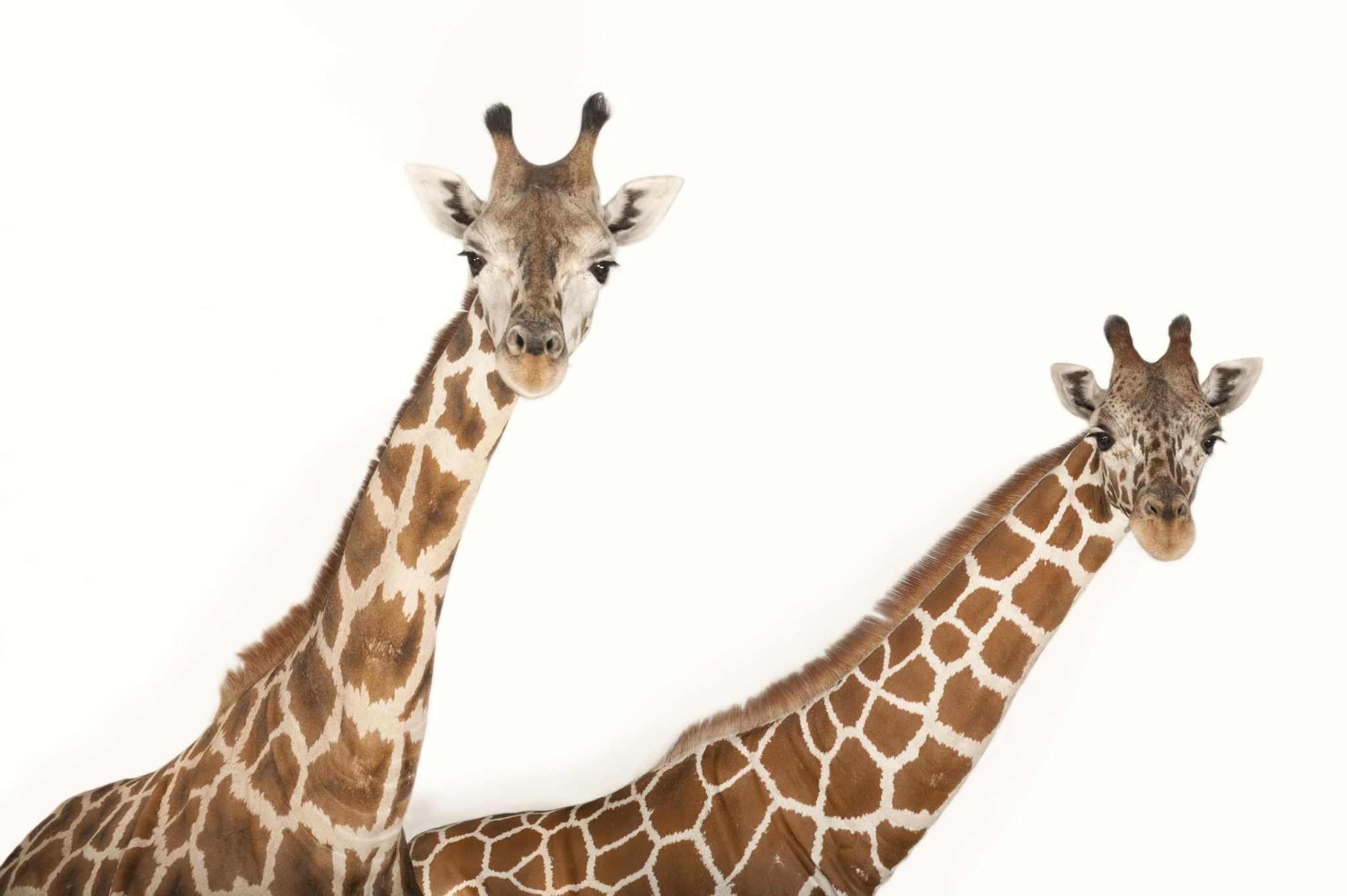 Giraffe Backgrounds, Compatible - PC, Mobile, Gadgets| 2048x1362 px