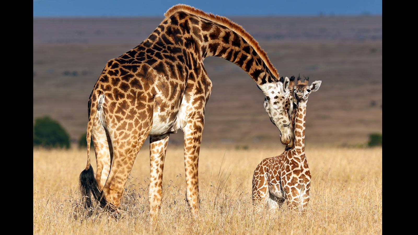 Images of Giraffe | 1600x900