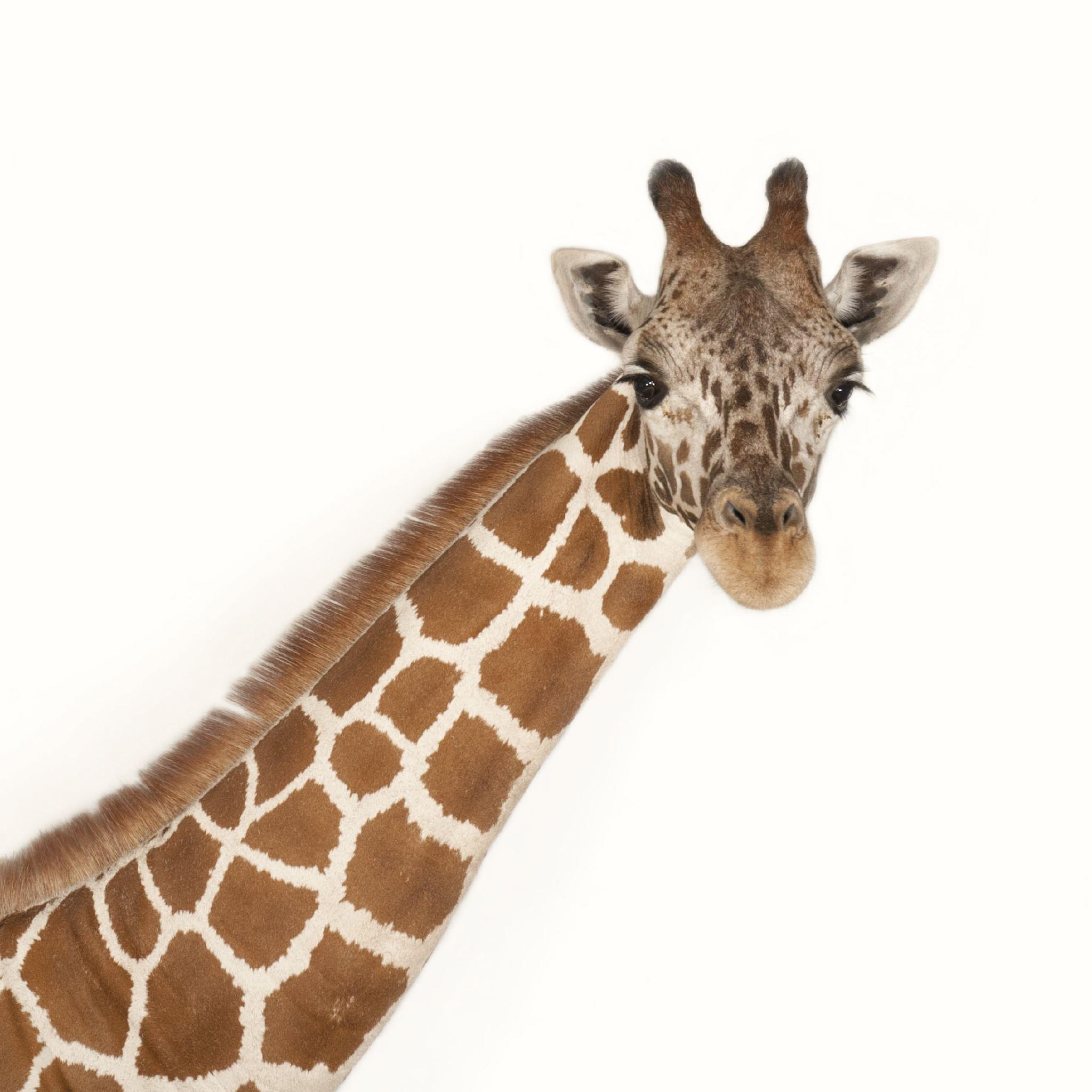 High Resolution Wallpaper | Giraffe 2048x2048 px