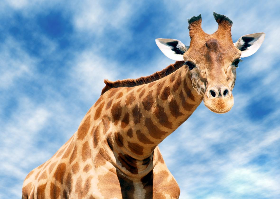 HD Quality Wallpaper | Collection: Animal, 1180x842 Giraffe