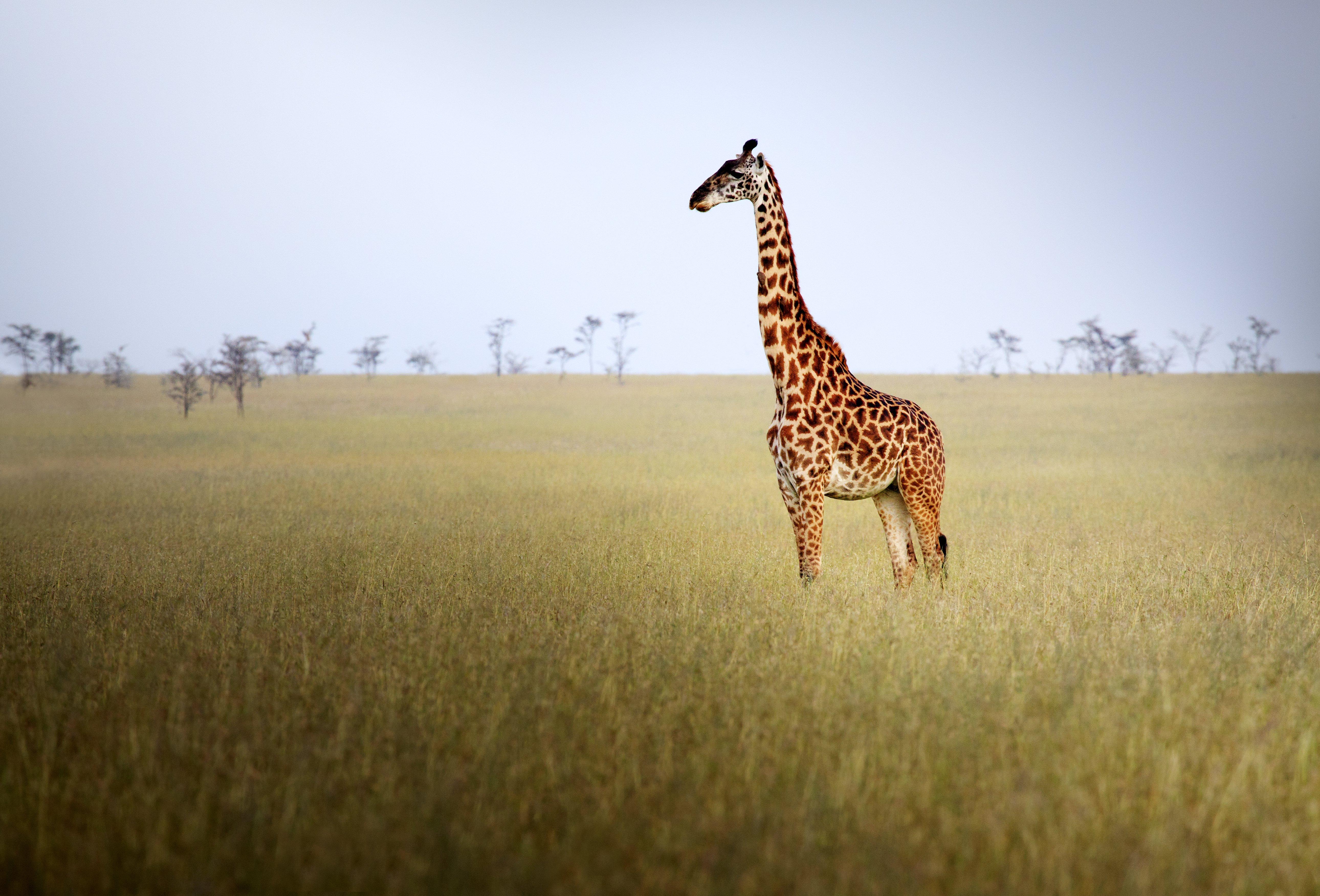 Giraffe High Quality Background on Wallpapers Vista