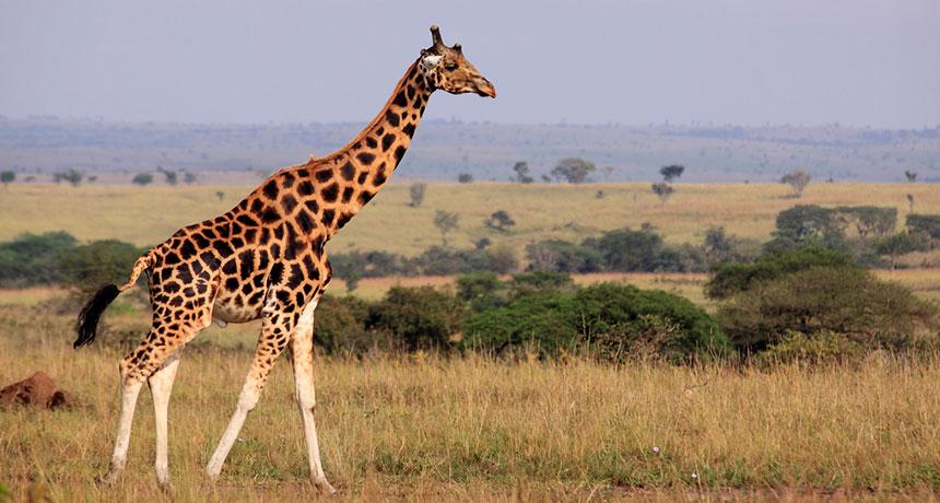 HQ Giraffe Wallpapers | File 100Kb