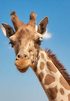 Giraffe Backgrounds, Compatible - PC, Mobile, Gadgets| 230x330 px