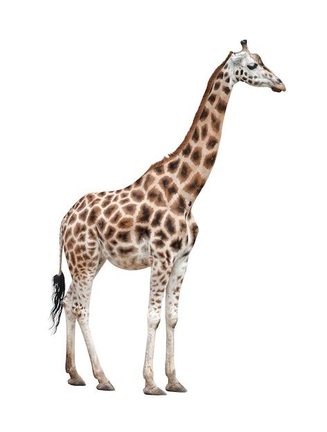472x624 > Giraffe Wallpapers