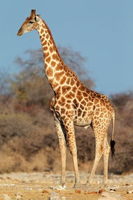 Giraffe Backgrounds, Compatible - PC, Mobile, Gadgets| 192x288 px