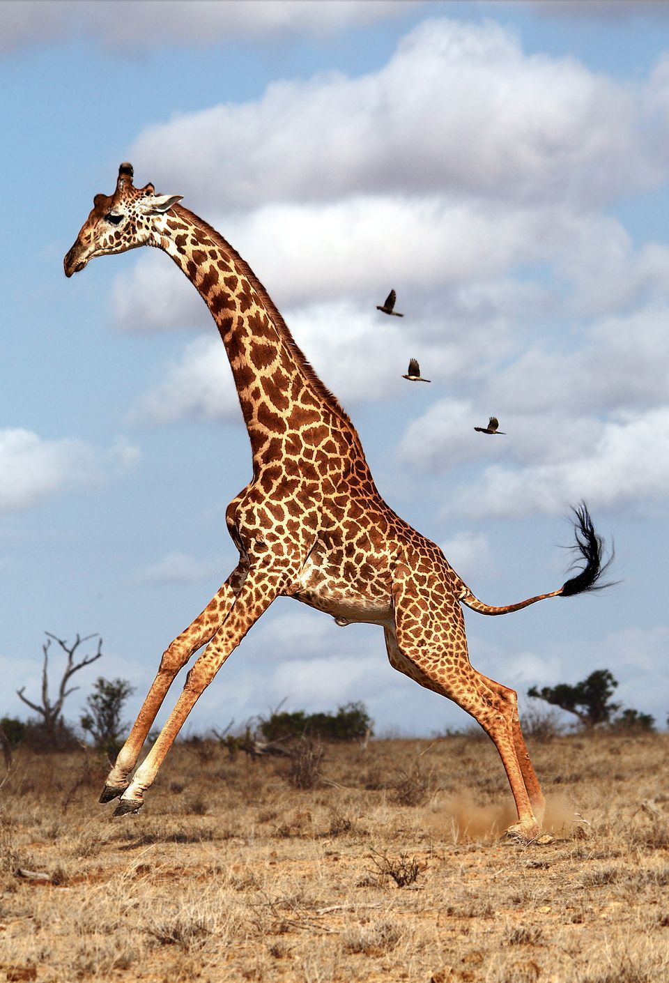 Giraffe Backgrounds, Compatible - PC, Mobile, Gadgets| 960x1410 px