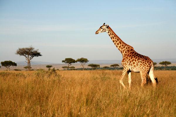 Giraffe Pics, Animal Collection