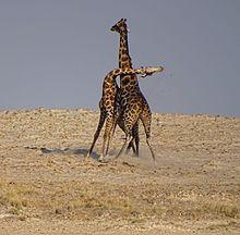 Giraffe Backgrounds on Wallpapers Vista