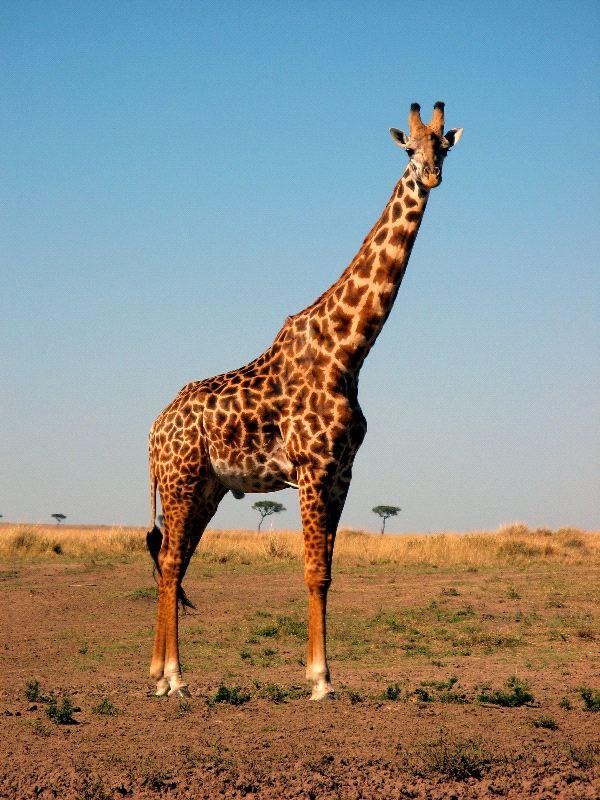 Nice Images Collection: Giraffe Desktop Wallpapers
