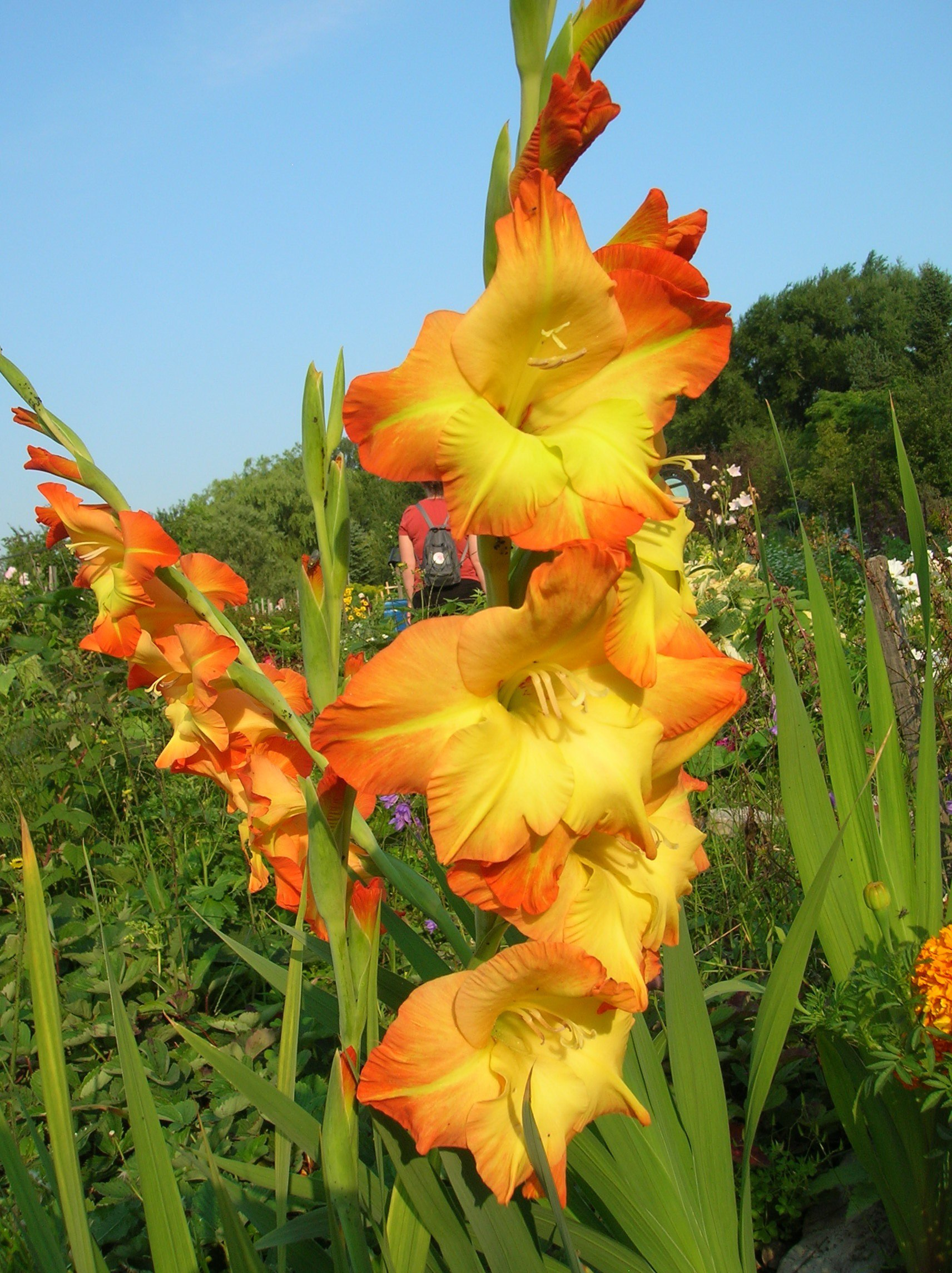 Gladiolus High Quality Background on Wallpapers Vista