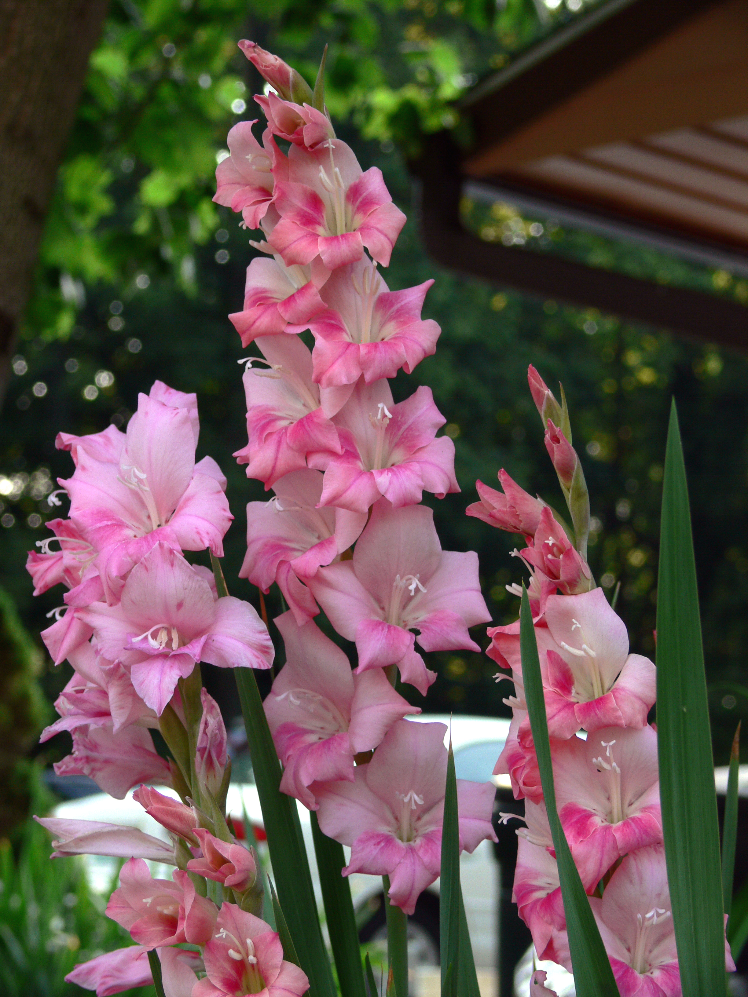 Nice Images Collection: Gladiolus Desktop Wallpapers