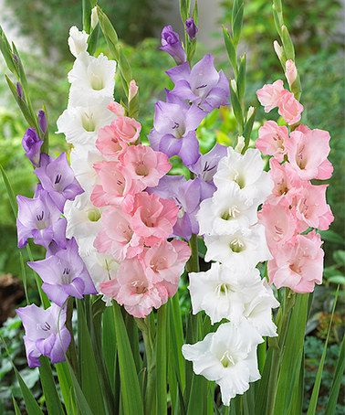 Nice wallpapers Gladiolus 378x454px