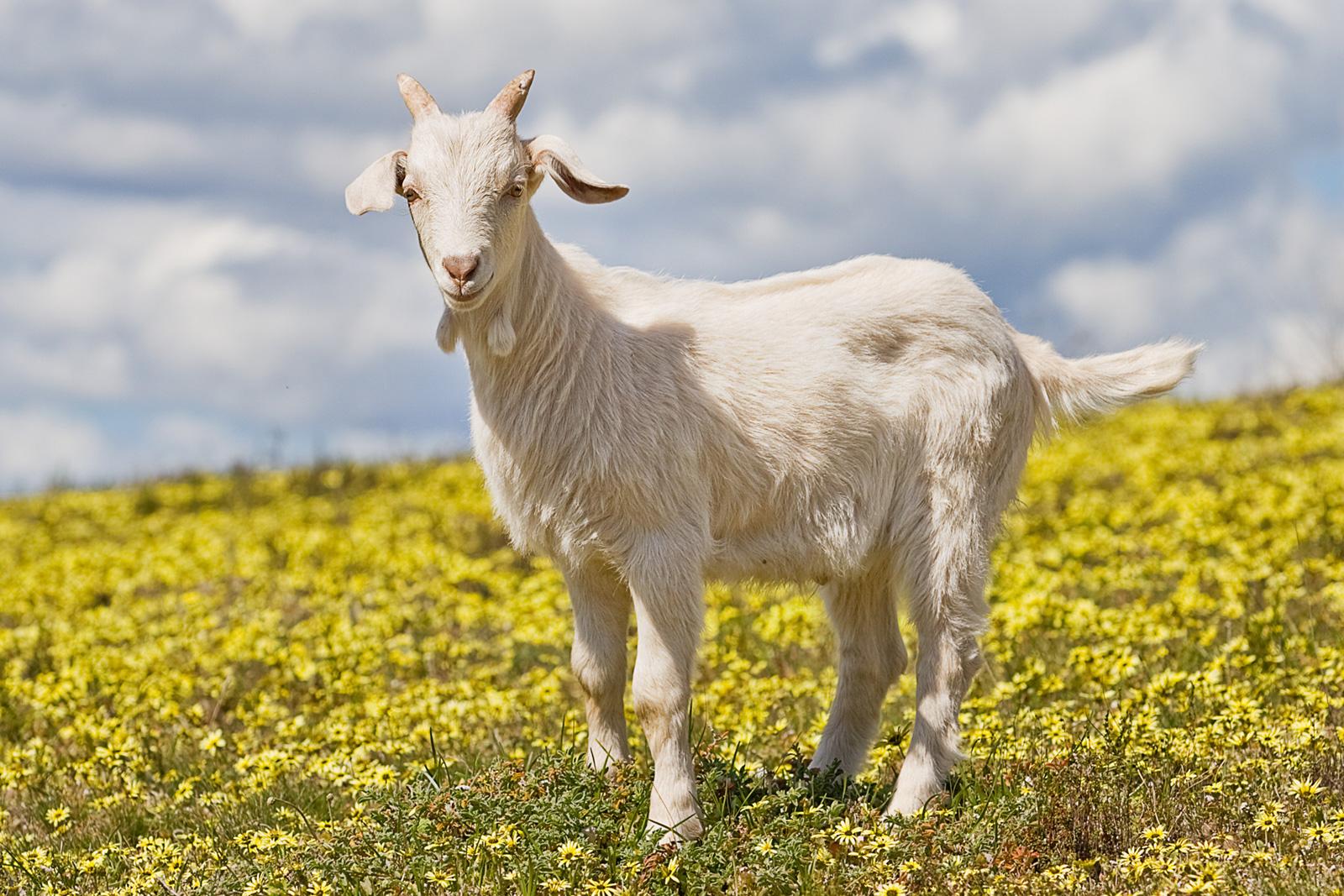 Goat Backgrounds, Compatible - PC, Mobile, Gadgets| 1600x1067 px