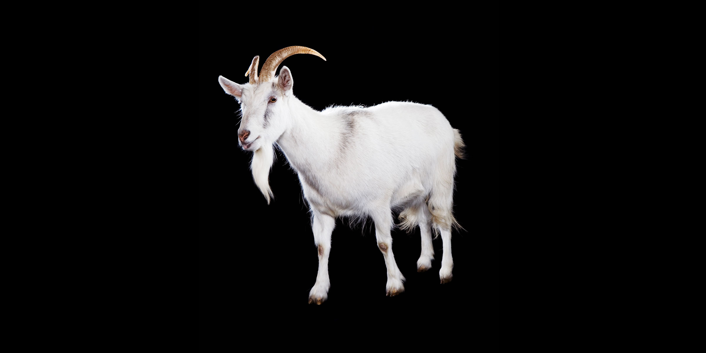 HD Quality Wallpaper | Collection: Animal, 2400x1200 Goat